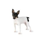 Petland Beavercreek, OH Toy Fox Terrier
