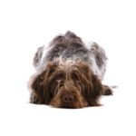 Petland Beavercreek, OH German Wirehaired Pointer