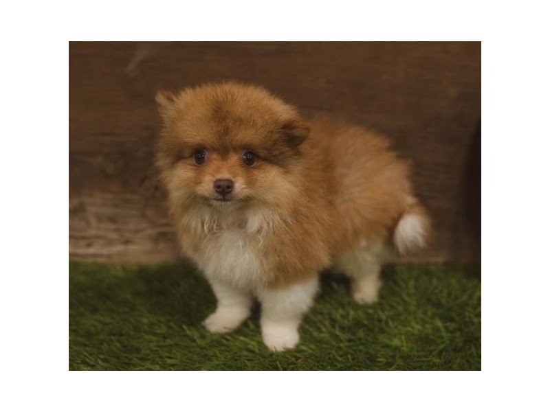 Pomeranian-Female-Orange-2439014-Petland Beavercreek, OH