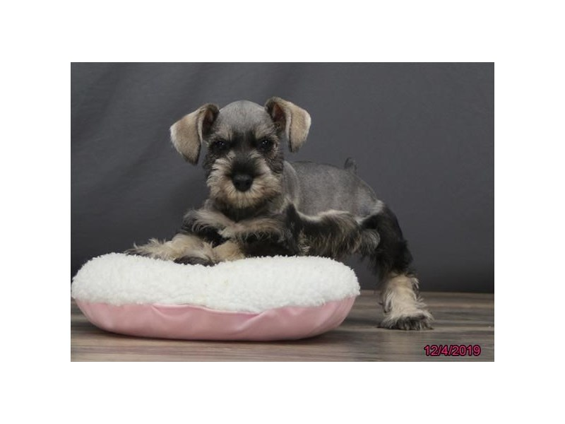 Miniature Schnauzer-Male-Salt / Pepper-2555983-Petland Beavercreek, OH