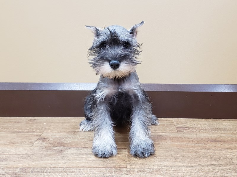 Miniature Schnauzer-Female-Salt / Pepper-2555170-Petland Beavercreek, OH