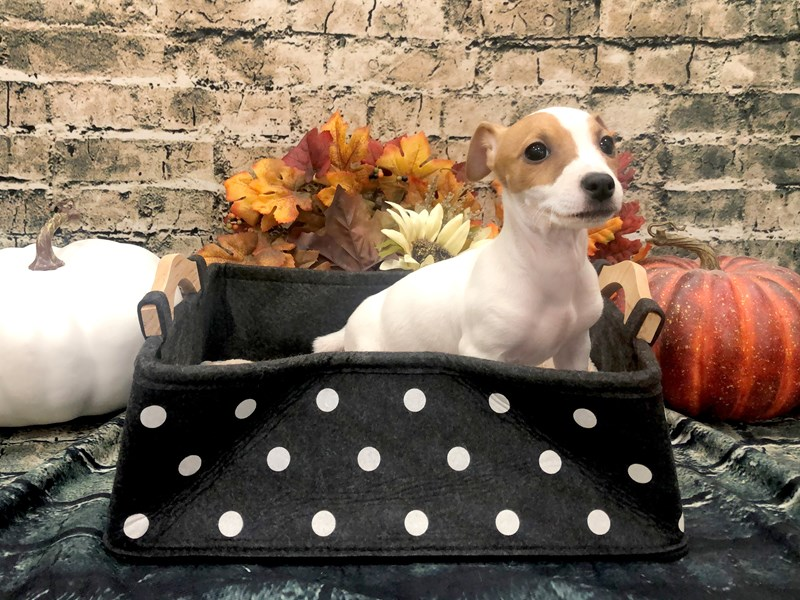 Jack Russell Terrier-Female-White and Red-2898839-Petland Beavercreek, OH